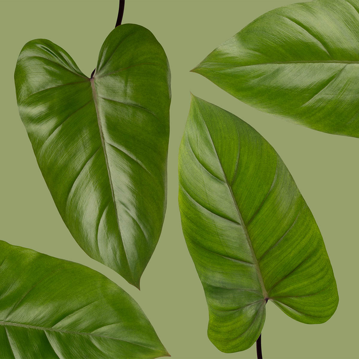 Esmeralda Philodendron Leaves
